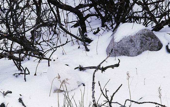 استتار حیوانات-استتار کبوتر بر روی برف