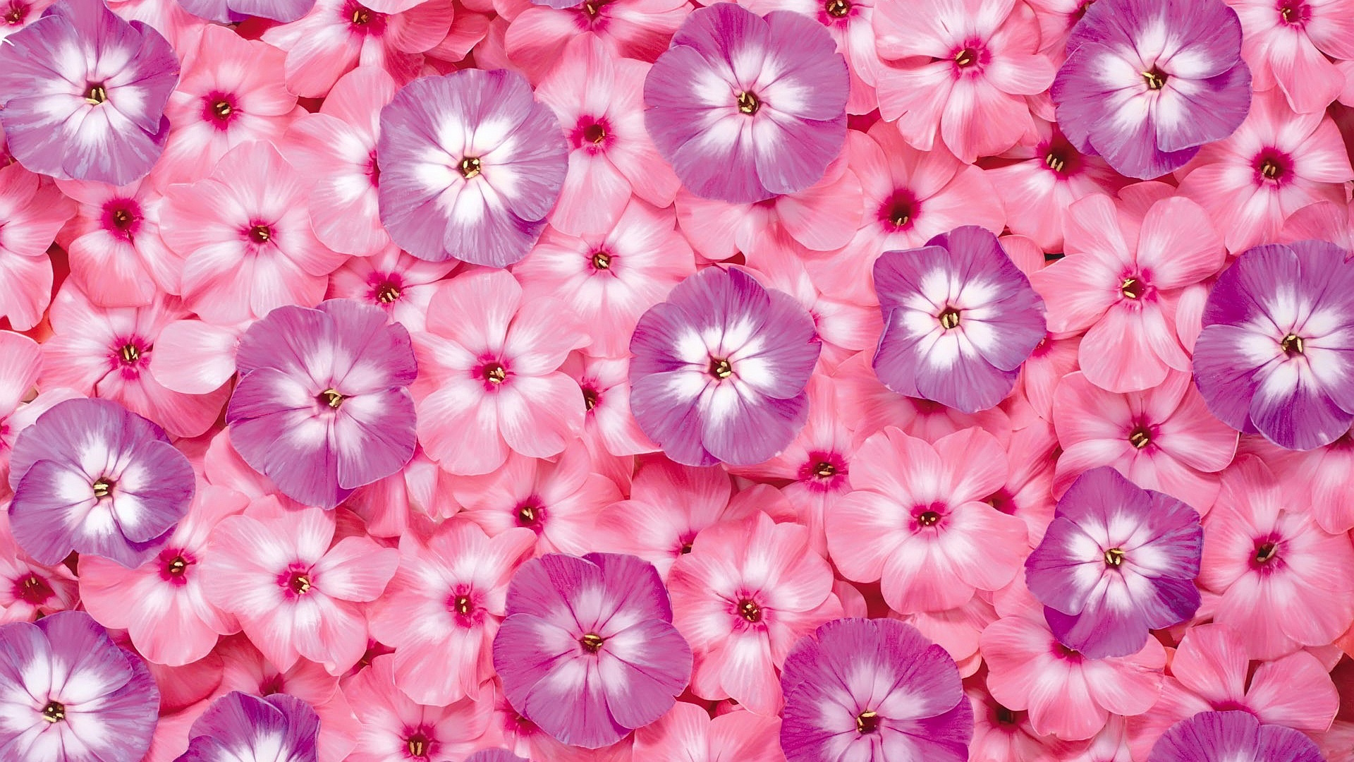 تصاویر زیبای گل های صورتی+دانلود :: دوربیـن