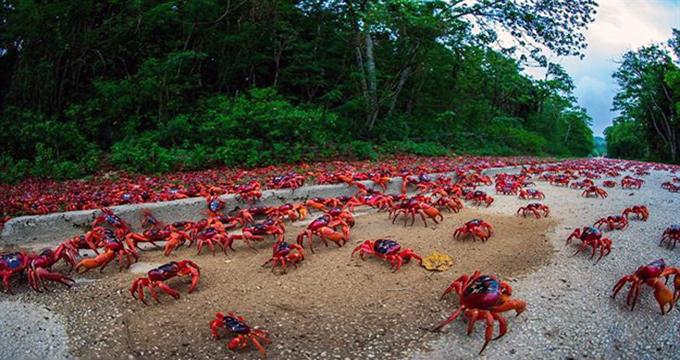 ویدئو/ مهاجرت میلیونها خرچنگ در جزیره کریسمس