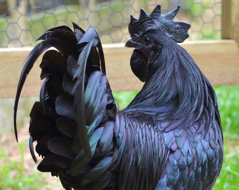 خروس کاملا سیاه و عجیب