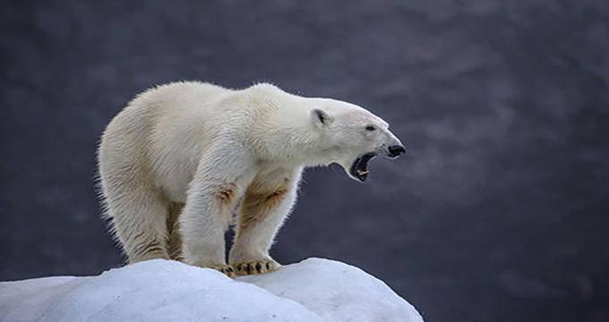 ویدئو/ حمله خرس قطبی به فیلمبردار حیاتوحش