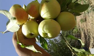 سیب بیامه