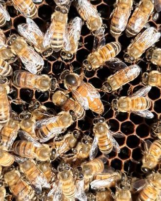 زنبور نژاد کارنیکا