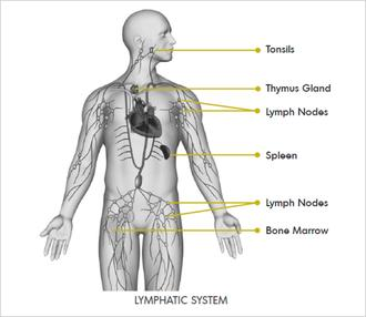 lymphatic-system