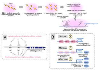 شناساییِ ژن هایِ ساعتِ گیاهیِ تنظیم کننده یِ ریتمِ شبانه روزی