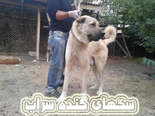 عکس گنده ترین سگ های آدمگیر سراب