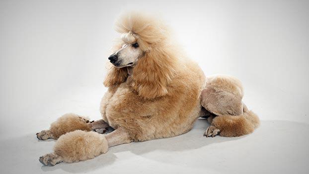 (Poodle (Standard
