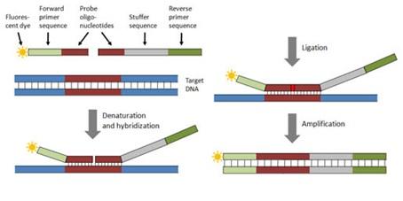 مقاله مروری درباره: MLPA و کاربردهای آن در تشخیص بیماریهای ژنتیکی و سرطان