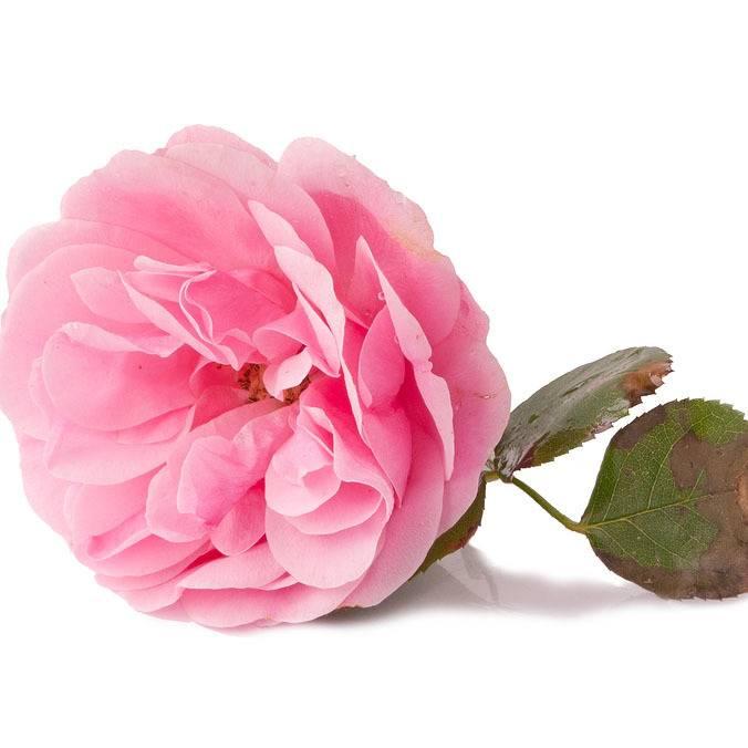 گل رز (گل محمدی)