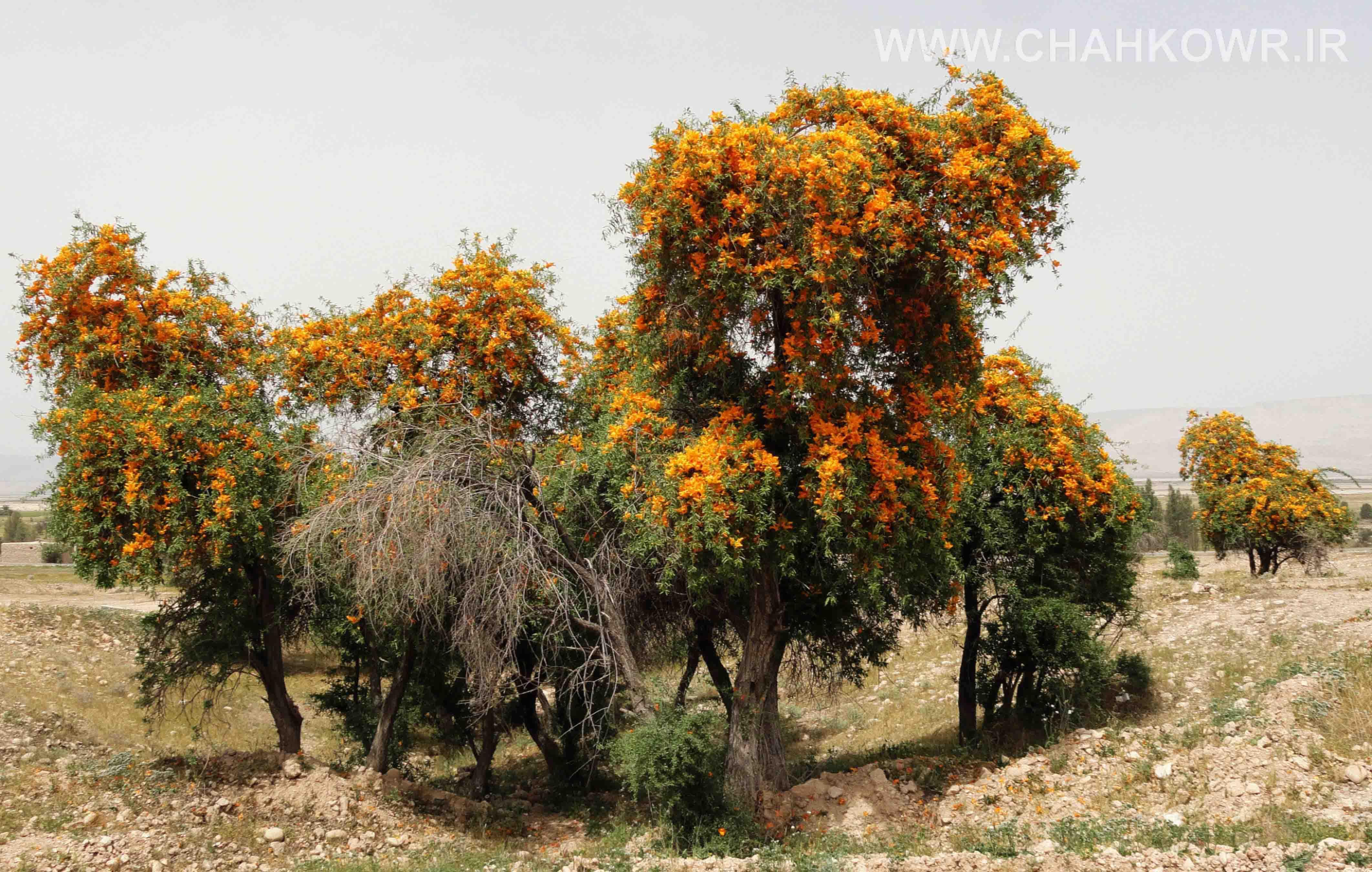 http://bayanbox.ir/view/1844307395428012216/Semeng-Tree.jpg