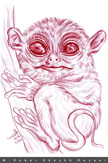 tarsier / Borneo