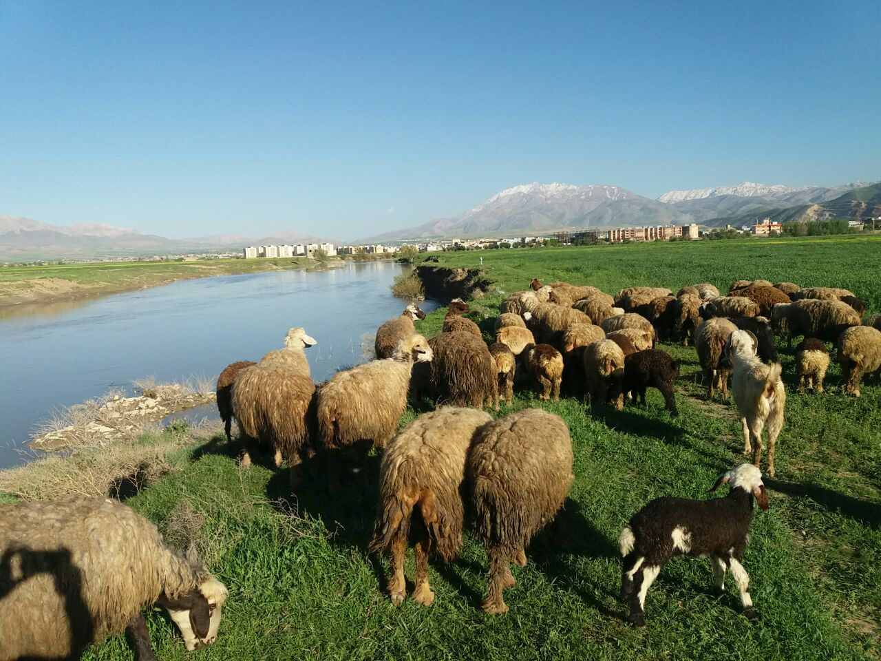 گوسفندان طبیعت رودخانه تیره دورود