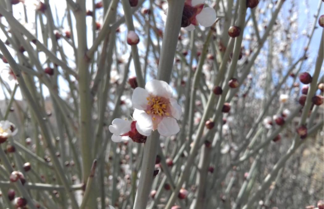شکوفه های آخورک