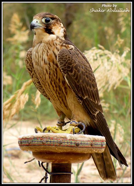پیامی برای علاقمندان نگهداری پرندگان شکاری|تربیت پرندگان شکاری