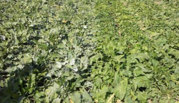 کنترل سفیدک پودری در مزرعه چغندر