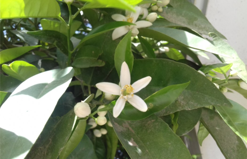 شکوفه های بهاری پرتقال