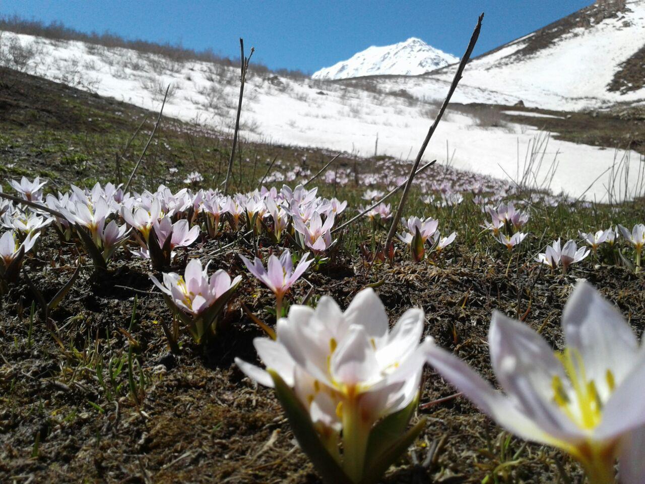 گل اشترانکوه