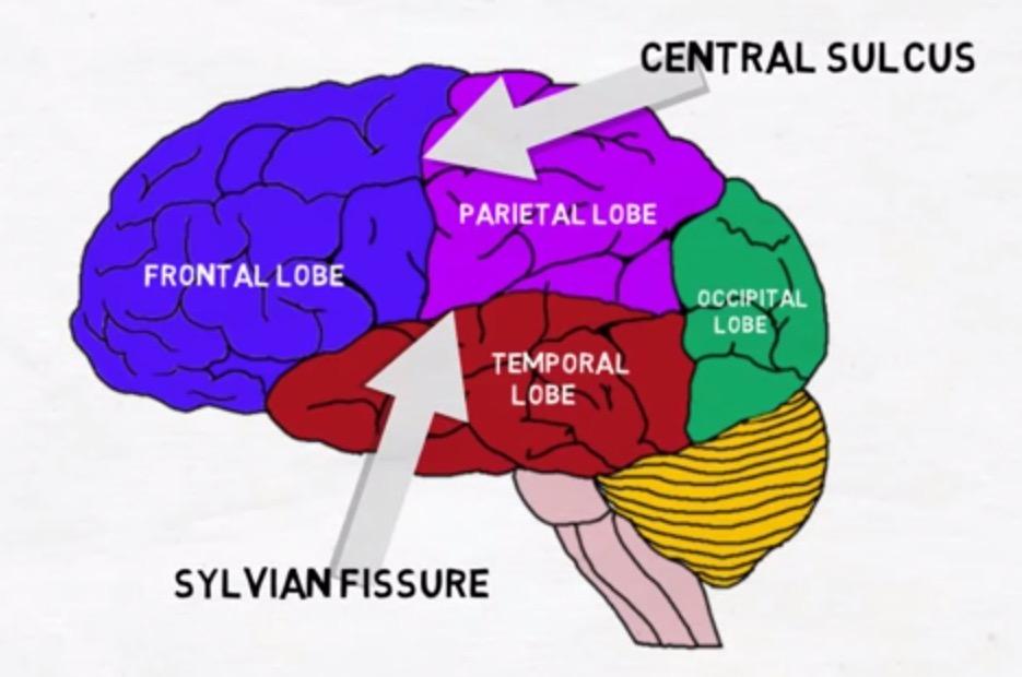 لوبهای مغز