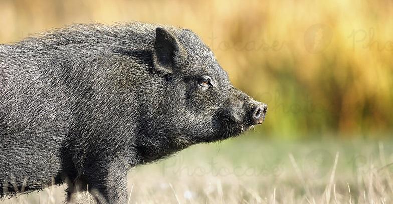 تعبیر خواب خوک