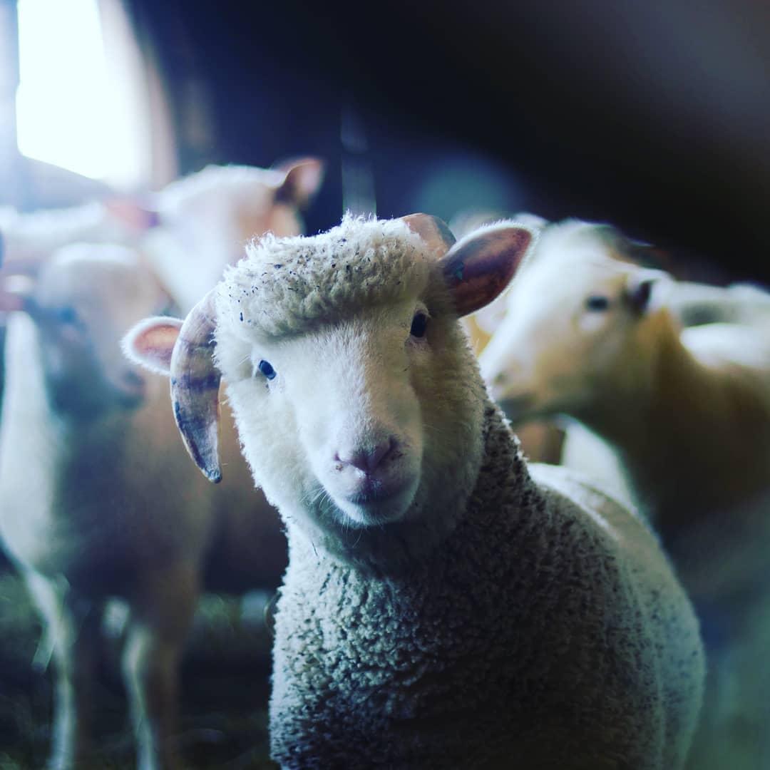 گوسفند چیست