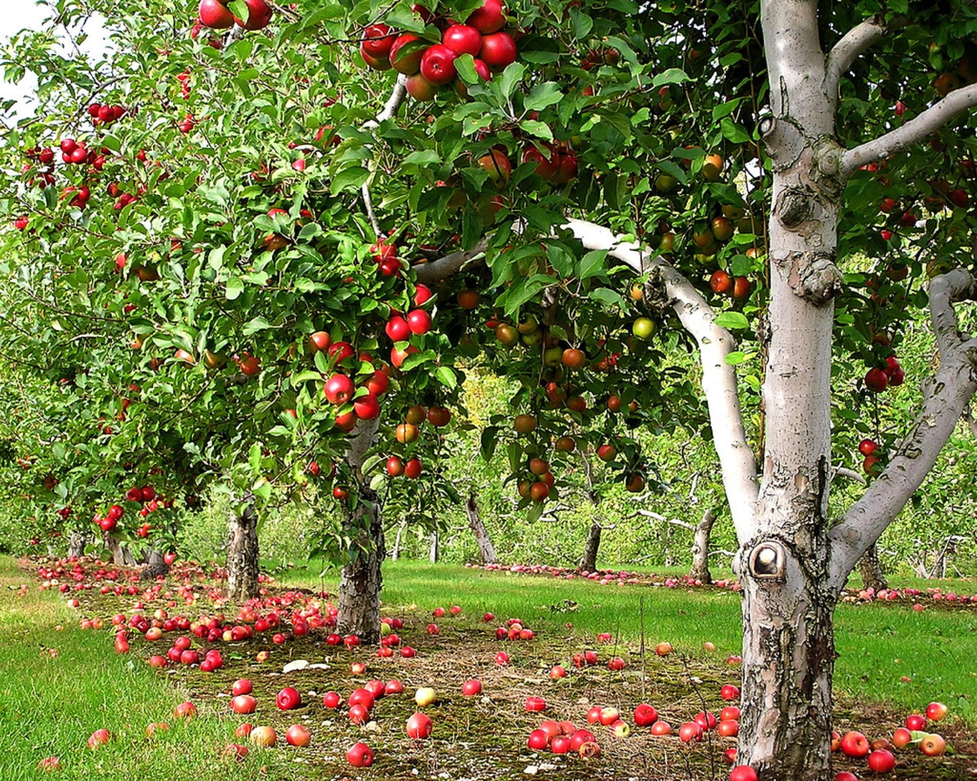 خاک مناسب درخت سیب