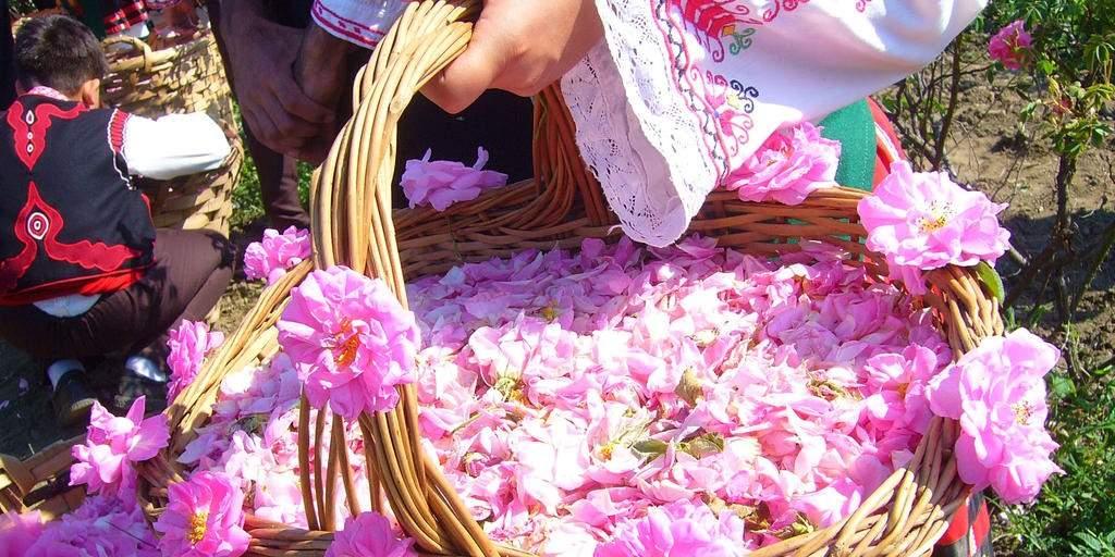 فواید و خواص درمانی گل محمدی (گل سرخ)