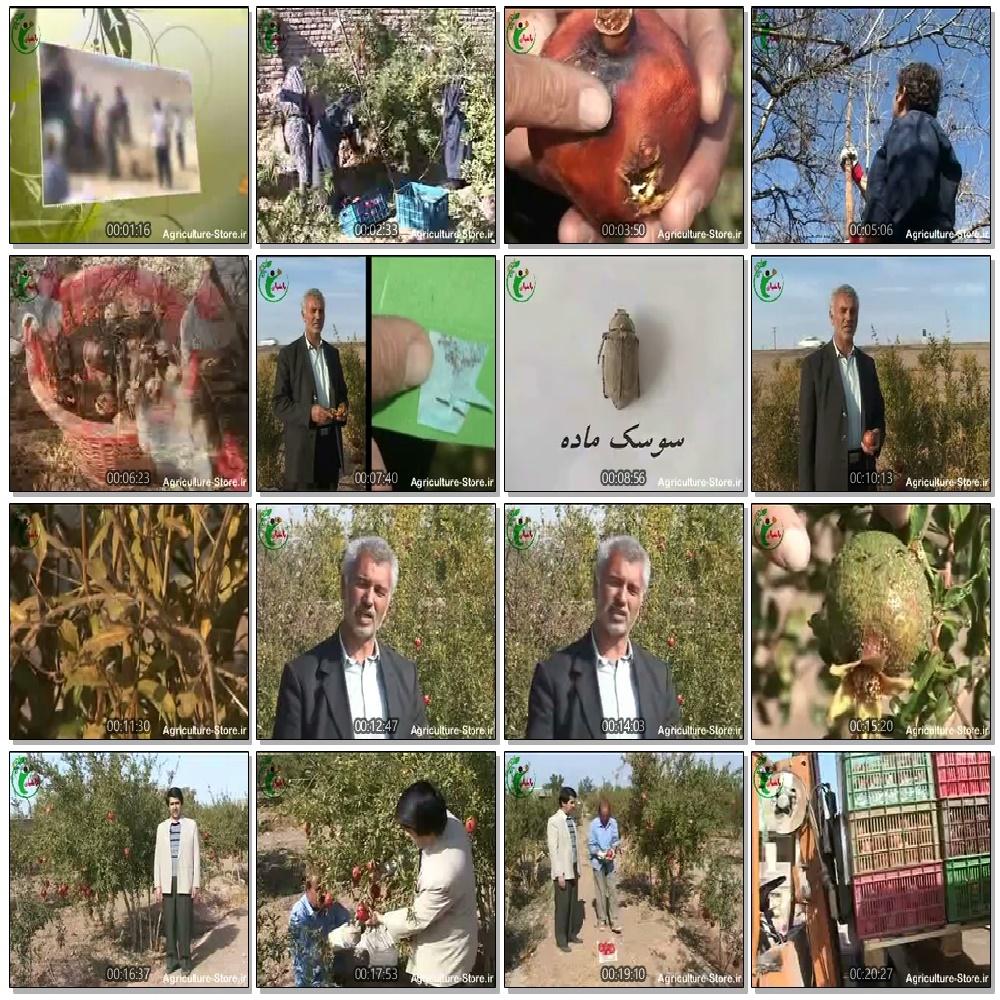 فیلم: شناخت و کنترل آفات درخت انار