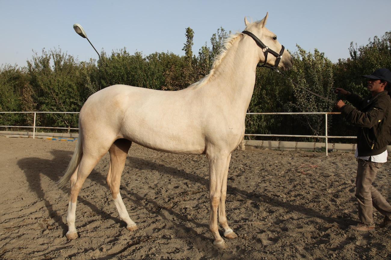 جدیدترین قیمت اسب