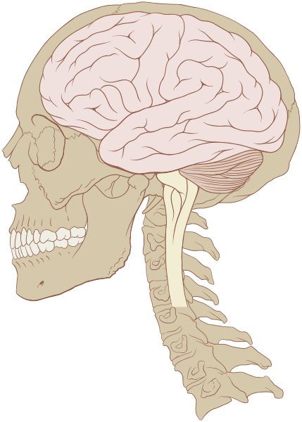 Skull and brain normal human