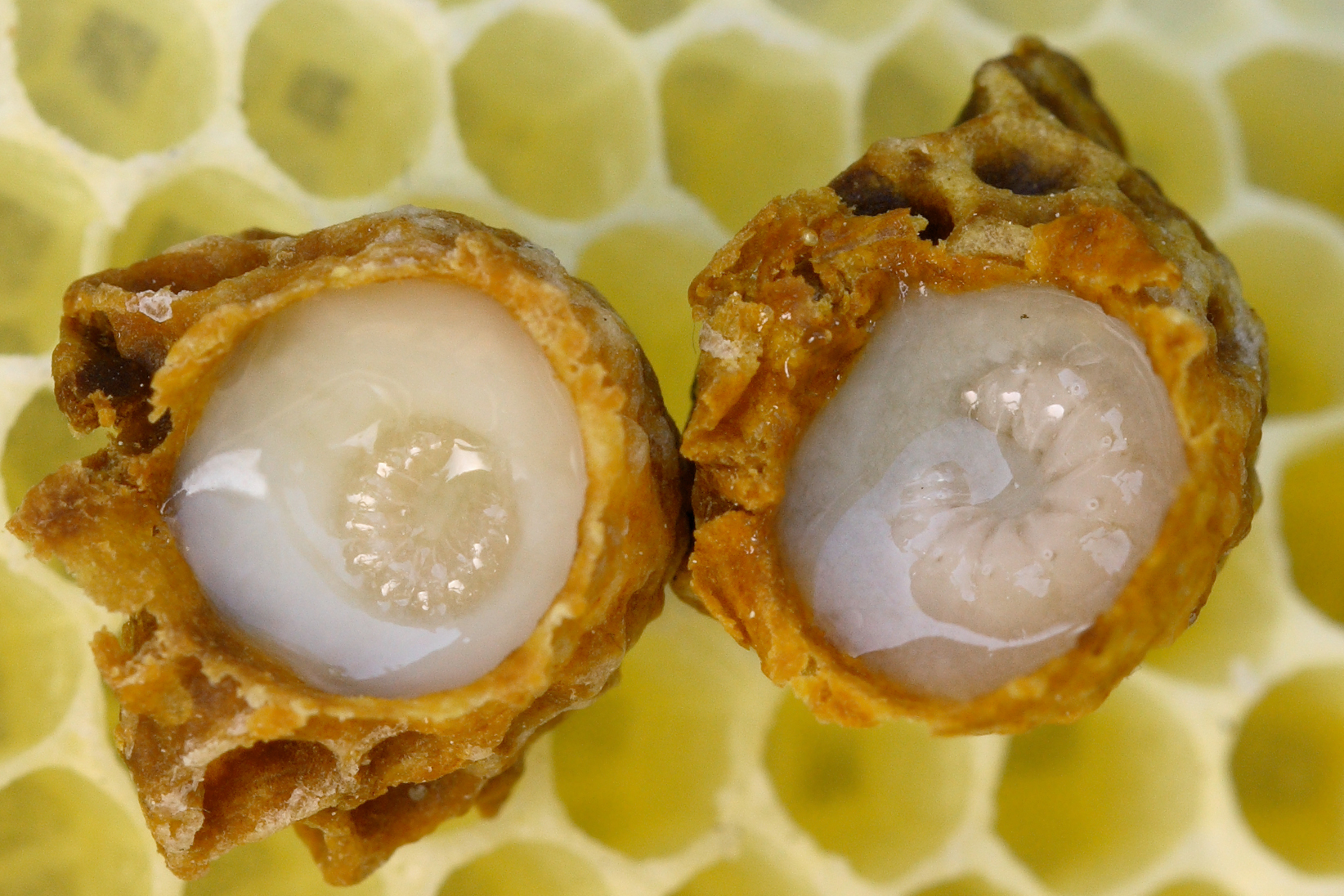 masoudhoneyco.blog.ir royal jelly cell 01