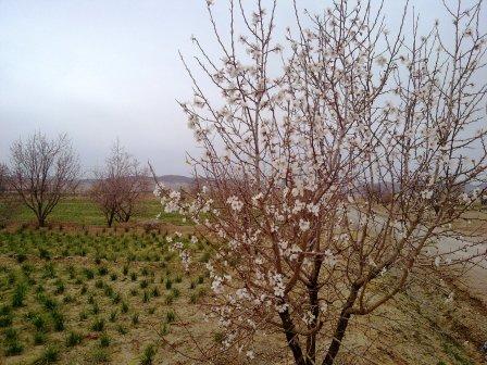 شکوفه درختان خانیک