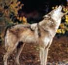 الذئبُ