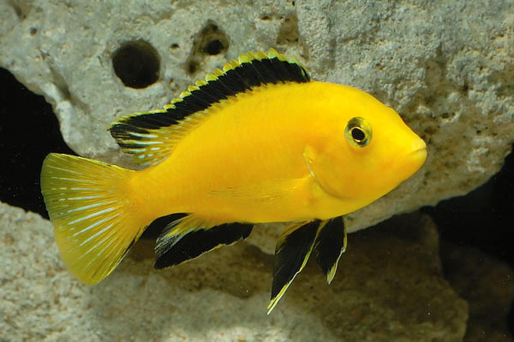 3.-Labidochromis-caeruleus-Electric-Yellow.jpg