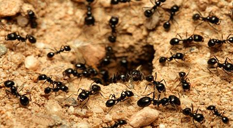 مورچه و روش های مقابله با آن
