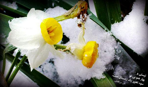 گل نرگس زیر برف